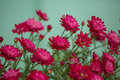 Beautiful red mums Royalty Free Stock Photo