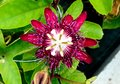 Beautiful Red Passion Flower-India Royalty Free Stock Photo