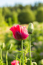 A beautiful red poppies blooming in the garden. Pink poppy in the sun. Royalty Free Stock Photo