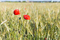 Beautiful red poppies growing in a field on a sunny warm summer day Royalty Free Stock Photo