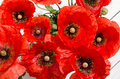 Beautiful red poppies on white background Royalty Free Stock Image