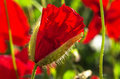 Beautiful red poppy flowers shallow depth field Royalty Free Stock Photography