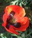 Beautiful red poppy in the sun Royalty Free Stock Photo