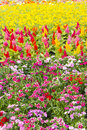 Beautiful red, purple, pretty, plant, pink,Yellow, white, flower Royalty Free Stock Photo
