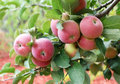 Beautiful red ripe apples on the branch Royalty Free Stock Photo