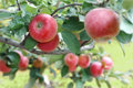 Beautiful red ripe apples on the branch close up shot Stock Photo