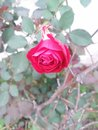 Beautiful Red Rose    Awesome Flower in red colour.