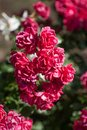 Beautiful red rose Bush Royalty Free Stock Photo