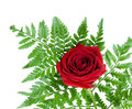 Beautiful red rose on a fern leaf Royalty Free Stock Photo