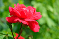 Beautiful red rose flower against green foliage background in the garden Stock Photos