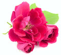Beautiful red rose flowers leaves white background Royalty Free Stock Photo
