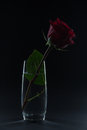 Beautiful red rose in a glass of water on a black background Royalty Free Stock Photo