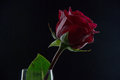 Beautiful red rose in a glass with water on a black background Royalty Free Stock Photo