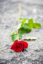 Beautiful red rose with green leaves left on the street - vertical composition Royalty Free Stock Photo