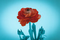 Beautiful red rose macro flower isolated on blue background. Royalty Free Stock Photo