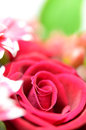 Beautiful red roses. Royalty Free Stock Photography