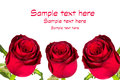 Beautiful red roses over white background Royalty Free Stock Photos