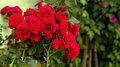 Beautiful red roses for romatic background Royalty Free Stock Photo