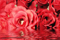 Beautiful red roses with water reflection Royalty Free Stock Photo