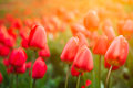Beautiful red tulips in the garden Royalty Free Stock Photography