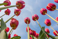 Beautiful red tulips looking to the blue sky Royalty Free Stock Photo