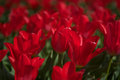 Beautiful red tulips the netherlands close up of growing in Royalty Free Stock Images