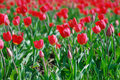 Beautiful red tulips in the spring time Royalty Free Stock Images