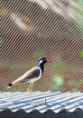 Beautiful red-wattled lapwing Royalty Free Stock Images