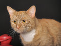 Beautiful red with a white breast cat in studio on dark background Stock Photography