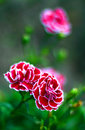 Beautiful red white carnations in the garden close up artistic bokeh the feeling of tenderness Stock Images
