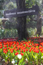 Beautiful red yellow tulips at Chiang Rai flower festival Royalty Free Stock Photo