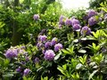Beautiful Rhododendron flower bushes in a garden Royalty Free Stock Photo