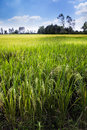 Beautiful rice field in thailand has a strong tradition of production it has the fifth largest amount of land under cultivation Royalty Free Stock Images