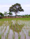 Beautiful rice field with trees as background Royalty Free Stock Image