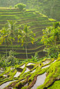 Beautiful rice terraces in the moring light, Bali, Indonesia Royalty Free Stock Photo