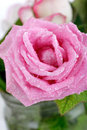 Beautiful rose background with water drops Stock Photo
