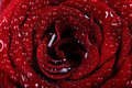 Beautiful rose background with water drops Stock Image