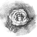 Beautiful rose charcoal artistic drawing of a Stock Photography