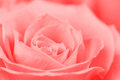 Beautiful rose closeup Royalty Free Stock Photography
