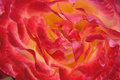 Beautiful rose flower closeup picture of Stock Photography