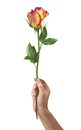 Beautiful rose flower in hand men isolated on white background Royalty Free Stock Photos