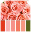 Beautiful rose flowers as background. Palette with living coral color Royalty Free Stock Photo