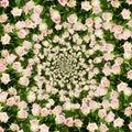 Beautiful rose flowers background Royalty Free Stock Photo