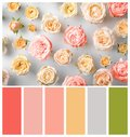 Beautiful rose flowers on light background, flat lay Royalty Free Stock Photo