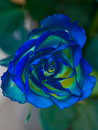 Beautiful rose of unusual blue-yellow color. Royalty Free Stock Photo