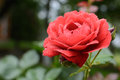 Beautiful rosebud red rose with drops of water on the background of green leaves in blur Royalty Free Stock Photo