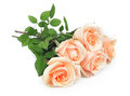 Beautiful roses Stock Image