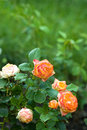 Beautiful roses on bush in summer garden of bright sunny day Royalty Free Stock Photos