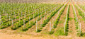 Beautiful rows of grapes before harvesting Stock Images
