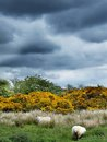 Beautiful rural landscape with sheep in scotland Stock Images